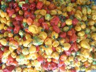 Piments récoltés