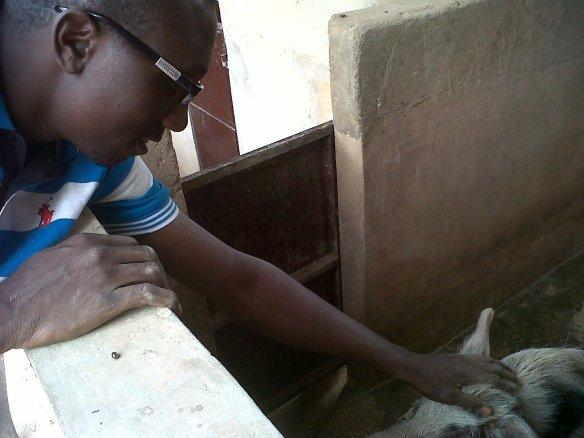 le technicien avec le reproduteur mu00E2le(Coco 40 l'u00E9talon  porc) - Copie