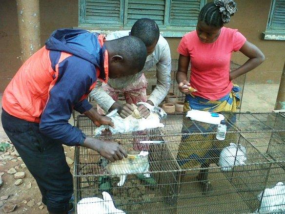 Su00E9ance de vaccination des lapins